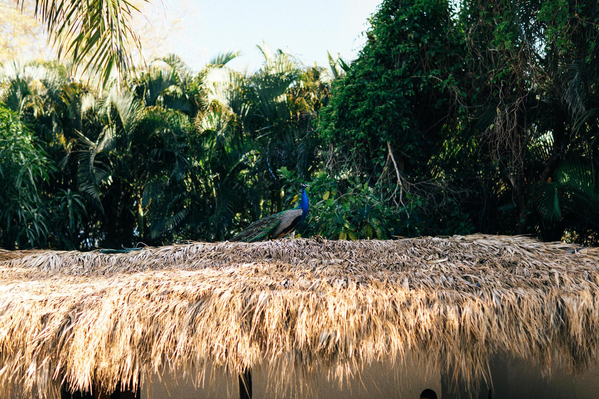 Peacock, Royalton Punta Cana, Garden wedding